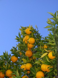 Orange Fruits in a Tree
