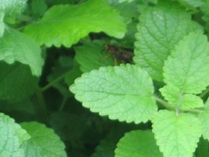 Lemon Balm Leaves