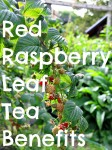 Red raspberry leaf branch Text Web