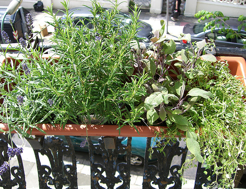 growing herbs at the untrained housewife