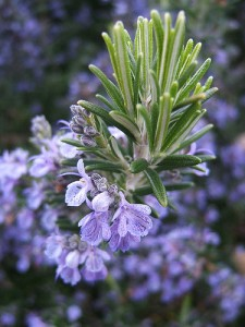 Growing Rosemary in Your Kitchen Herb Garden