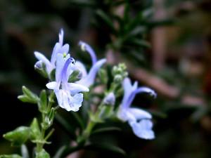 Rosmarinus officinalis herb