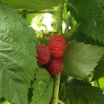 Raspberries are easy to grow in the home garden. Image Credit: csijizo