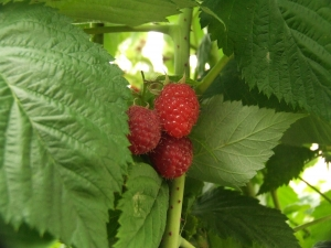 Growing Raspberries in Your Garden: The Delicious Jam Berry