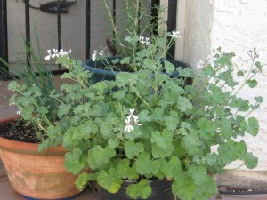Scented Geraniums Outlasting Desert Summers