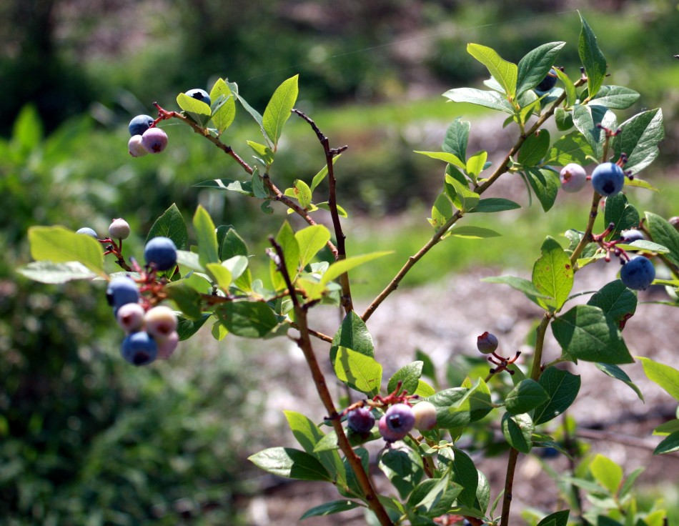 blueberries growing on the bush