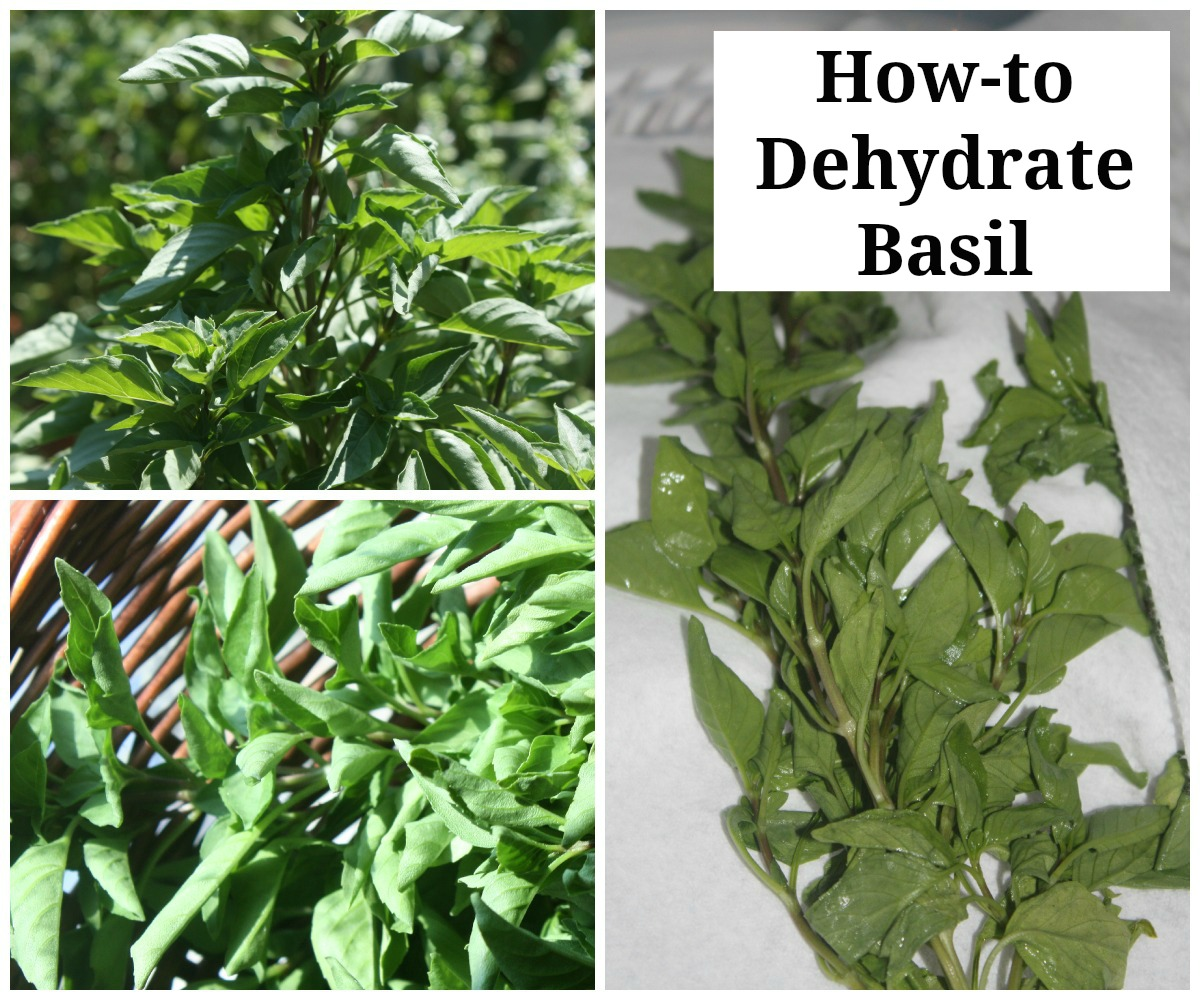 How to Dehydrate Basil