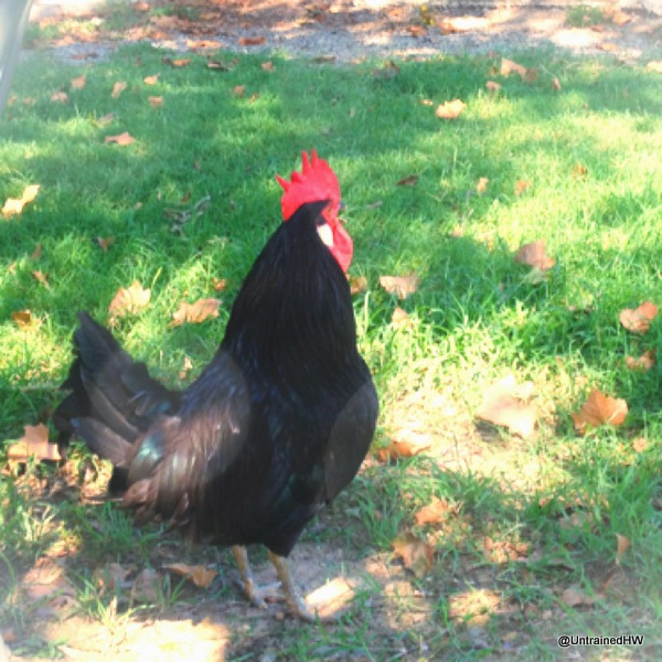 black rooster on a grassy field - an ex-Easter basket chick rescue