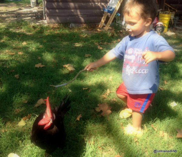 Toddler and chicken playing