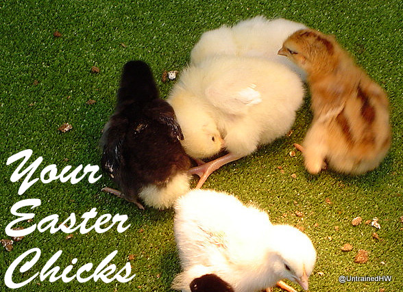Your Easter Basket chicks a year later (and why you shouldn't do this)