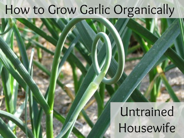 Garlic Bulb Plant Planting Garlic