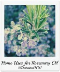 Rosemary (Rosmarinus Officinalis)