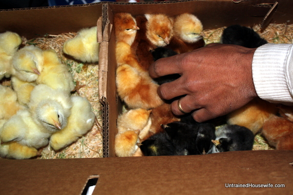 Unpacking the Chicks from Hoovers Hatchery