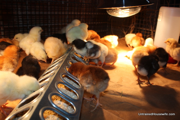 Active and healthy chicks in a brood cage