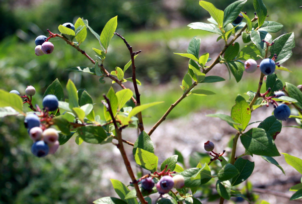 Blueberry Bush for Landscaping With Edibles