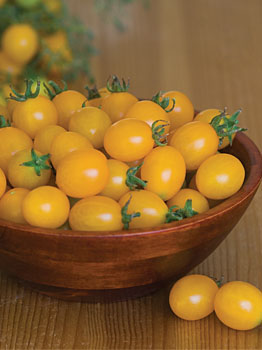 Lemon drop tomato for container plantings