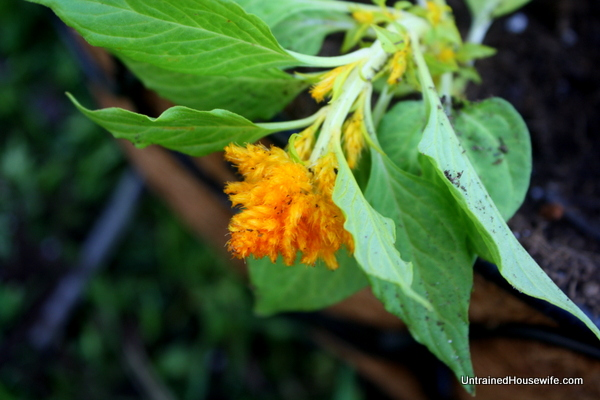Celosia for orange flowers in the rainbow planter garden