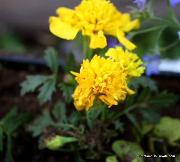 Marigolds for yellow flowers in the rainbow garden