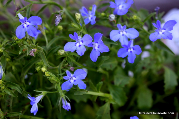 Lobelia for a true blue flowering plant