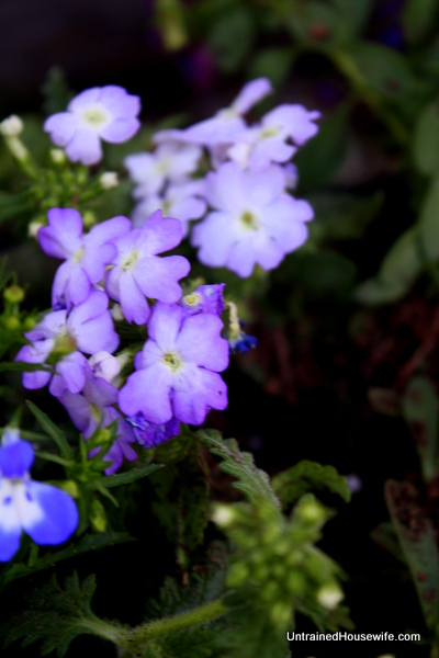 Verbena flowers in the rainbow planter
