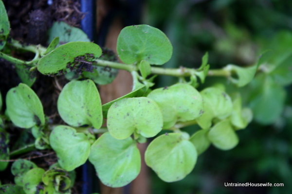 Creeping Jenny with bright green foliage
