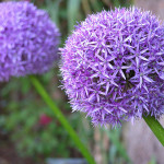 Allium Summer Bulbs