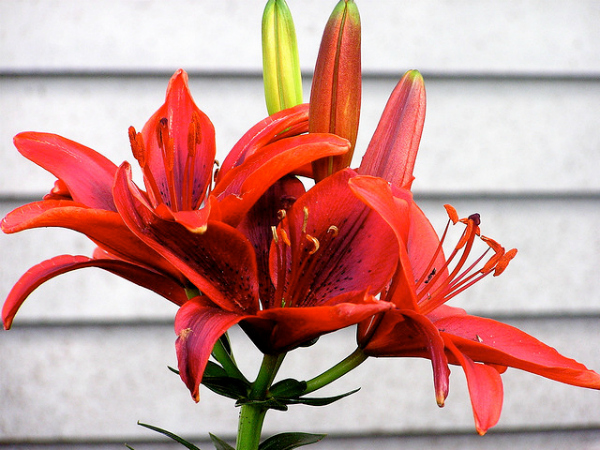 Red Summer Lily Flowers