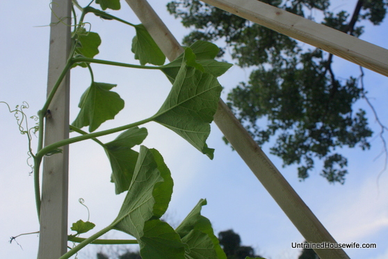 Inside view of the homemade garden teepee trellis