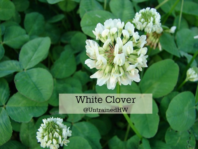 A white clover flower
