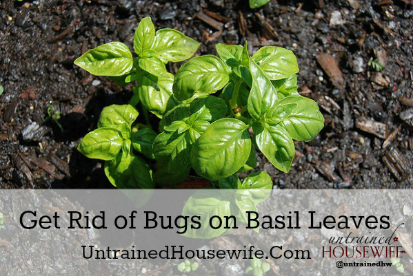 Bugs on the Basil Garden Pests