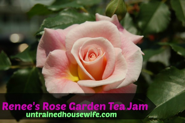 a beautiful tea rose