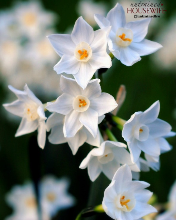 Paperwhites. Photo Credit to RC Designer on Flickr.