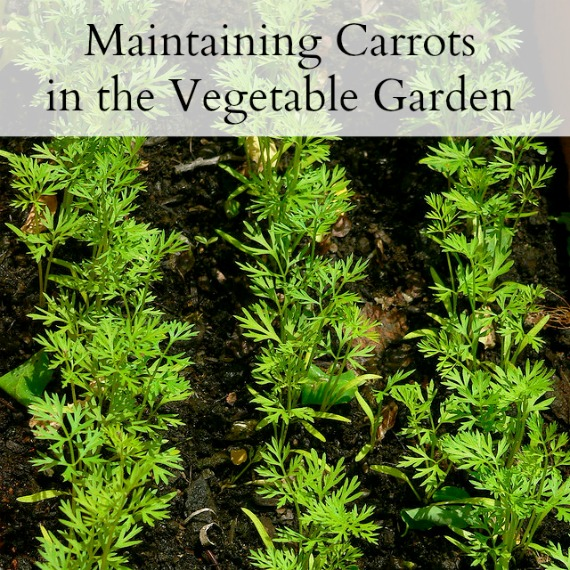 Maintaining Carrots in the Vegetable Garden