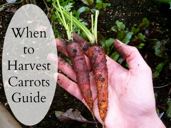 When to Harvest Carrots Gardening Guide