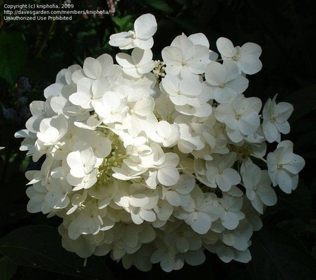 White tree hydrangeas for shade flowers