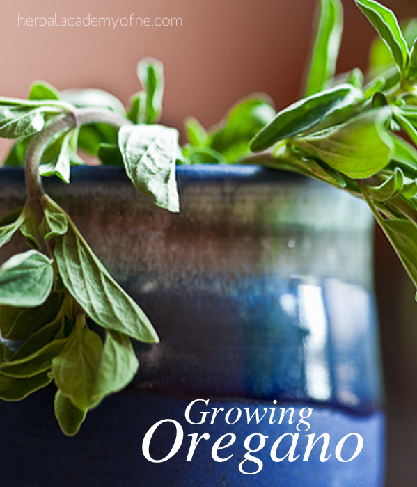 Growing Oregano - Herbal Academy of New England