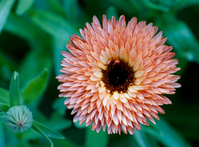 Growing Calendula in Your Herb Garden | Untrained Housewife