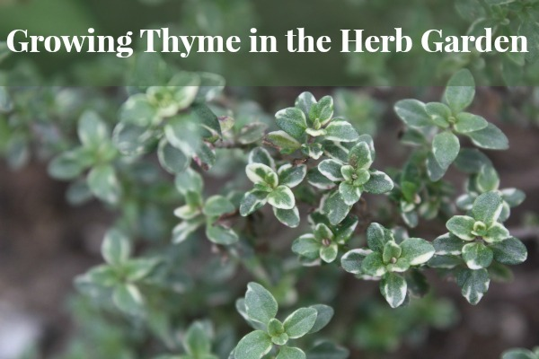 Growing Thyme in the Herb Garden