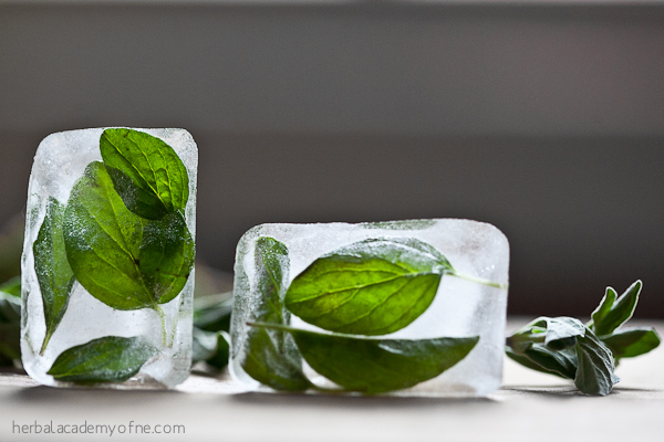 Freezing Oregano in Ice - Herbal Academy of New England