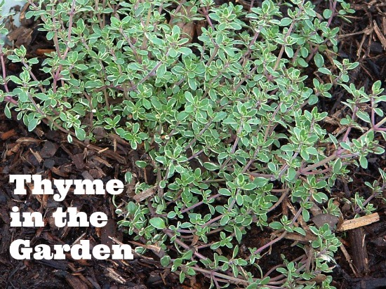 Maintaining Thyme in the Garden