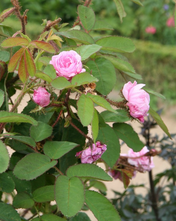 Growing Roses: Rosa Centifolia