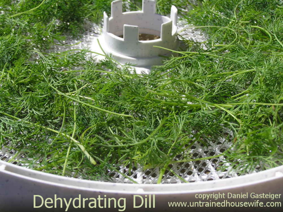 Dehydrating dill