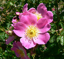 sweetbriar eglantyne rose