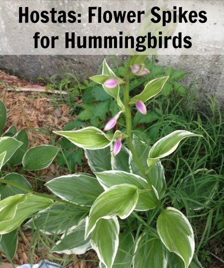 Hostas With Flower Spikes For Hummingbirds