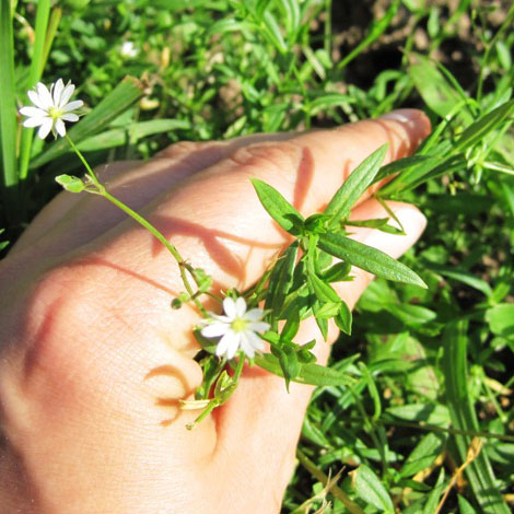 Chickweed is a home remedy for pink eye you can forage